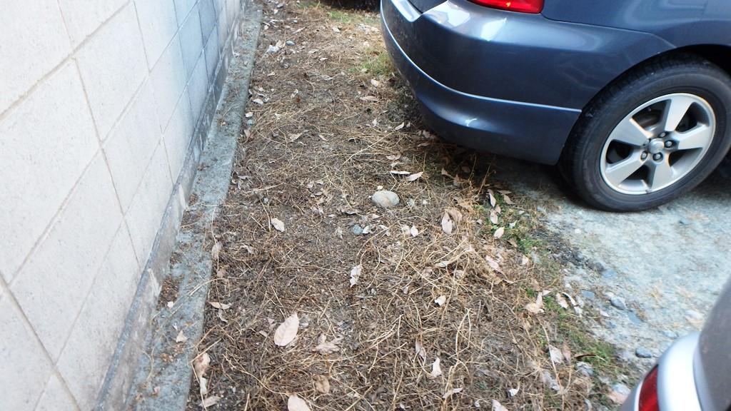枯れた草を取り除くと・・・