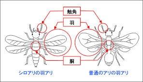 シロアリの羽アリと普通のアリの羽アリ