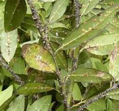 庭木の害虫