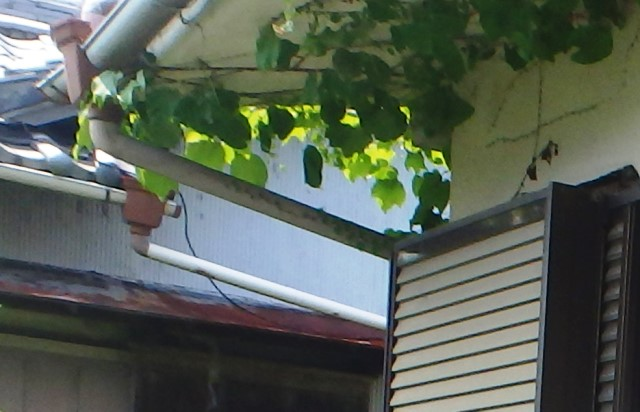 屋根まで延びた草